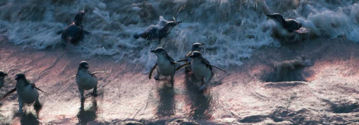 Le Petit Pingouin Bleu, Otago Peninsula, Nouvelle-Zélande